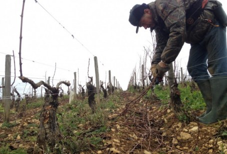 Pruning in one of the four parcels of Chablis Premier Cru Côte de Léchet